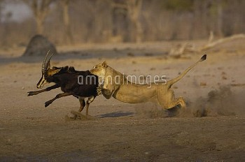 African Lion (Panthera leo) female bringing down Sable Antelope (Hippotragus niger), Africa
