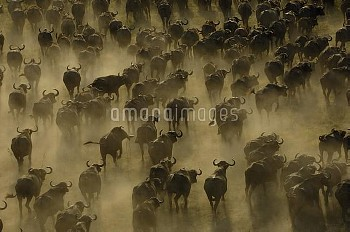 Cape Buffalo (Syncerus caffer) herd stampeding, Africa