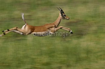 Impala (Aepyceros melampus) running and leaping, Africa