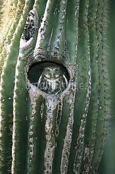 Ferruginous Pygmy Owl (Glaucidium brasilianum) adult peering out from nest hole in Saguaro (Cereus g