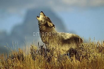 Timber Wolf (Canis lupus) adult howling, Teton Valley, Idaho