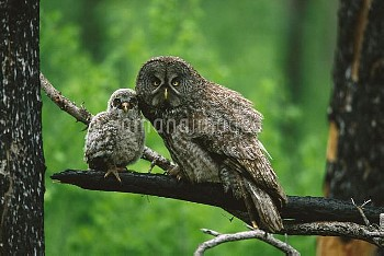 Great Gray Owl (Strix nebulosa) adult with chick, Saskatchewan, Canada