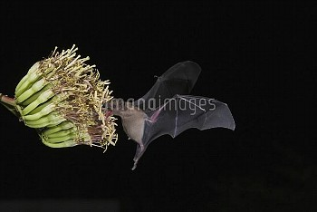 Lesser Long-nosed Bat (Leptonycteris yerbabuenae) feeding on nectar, North America