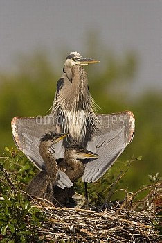 Great Blue Heron (Ardea herodias) parent with two chicks on nest, Venice, Florida