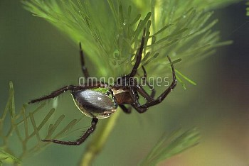 Water Spider (Argyroneta aquatica) clinging to plant showing collected air on abdomen, the only spid