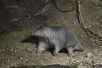 Short-beaked Echidna (Tachyglossus aculeatus) young waking-up in burrow, Australia