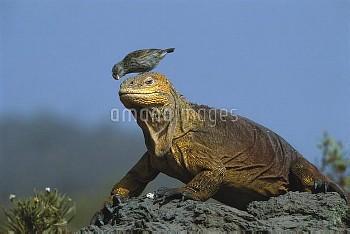 Galapagos Land Iguana (Conolophus subcristatus) with a Small Ground-Finch (Geospiza fuliginosa) on i
