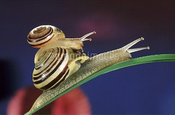 Brown-lipped Snail (Cepaea nemoralis) small snail riding on the shell of a larger snail, western Eur