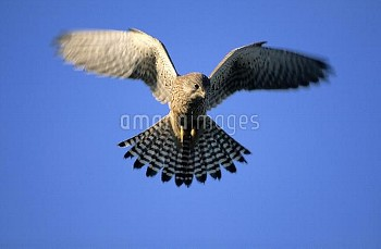 Eurasian Kestrel (Falco tinnunculus) hovering, Europe