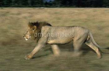 African Lion (Panthera leo) male walking, Africa