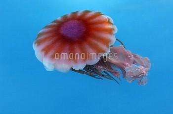 Jellyfish, Paradise Bay, Antarctica