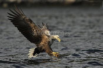 White-tailed Eagle (Haliaeetus albicilla) striking for fish, Norway