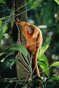 Golden Lion Tamarin (Leontopithecus rosalia) portrait, Atlantic Forest ecosystem, Brazil