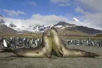 Southern Elephant Seal (Mirounga leonina) juveniles play fighting on beach near King Penguin (Apteno
