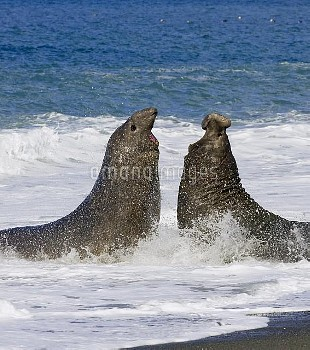 Southern Elephant Seal (Mirounga leonina) bulls fighting in surf during breeding season, St. Andrews