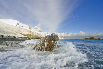 Southern Elephant Seal (Mirounga leonina) bull emerging from surf on beach with Graae Glacier in bac