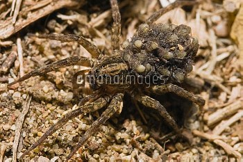 Wolf Spider (Lycosidae) mother carrying young on her back, Peloponnese, Greece