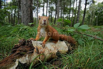 Eurasian Red Squirrel (Sciurus vulgaris) on birch log in forest, England