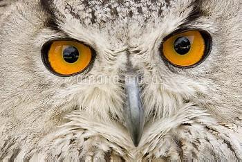 Eurasian Eagle-Owl (Bubo bubo) portrait, Switzerland