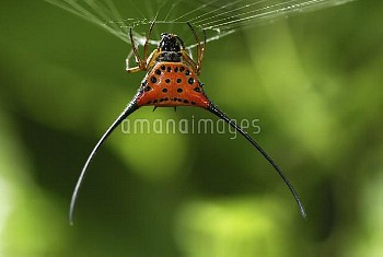 Curved Spiny Spider (Gasteracantha arcuata) on web, Danum Valley Conservation Area, Borneo, Malaysia