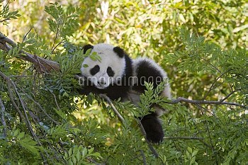 Giant Panda (Ailuropoda melanoleuca) resting in tree, native to China
