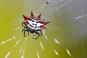 Spinybacked Orb-weaver Spider (Gasteracantha cancriformis) on web, Everglades National Park, Florida