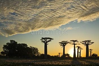 Grandidier's Baobab (Adansonia grandidieri) and lilies at sunset, Morondava, Madagascar