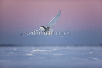 Snowy Owl (Nyctea scandiaca) female hunting at sunset, Canada