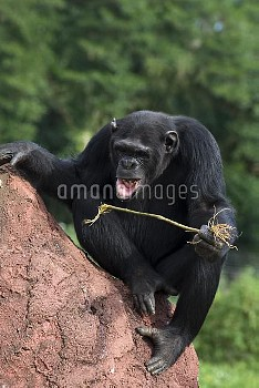 Chimpanzee (Pan troglodytes) learning how to use twigs as tools to fish honey out of holes in termit