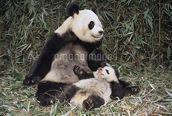Giant Panda (Ailuropoda melanoleuca) with cub, China Conservation and Research Center for the Giant