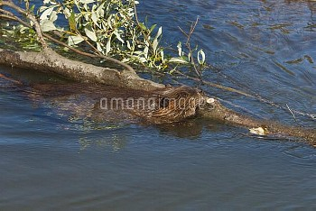 American Beaver (Castor canadensis) swimming with large cut log, Denali National Park, Alaska