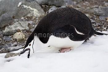 Chinstrap Penguin (Pygoscelis antarctica) eating snow, Half Moon Island, Antarctica