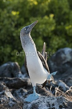 Blue-footed Booby (Sula nebouxii) male performing foot-lifting courtship display, Galapagos Islands,