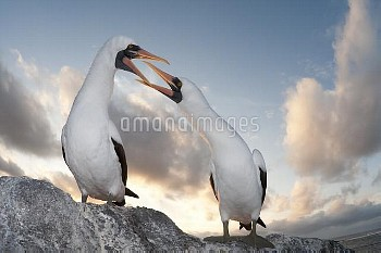 Nazca Booby (Sula granti) pair greeting in loud courtship display at sundown, Galapagos Islands, Ecu