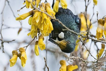 Tui (Prosthemadera novaeseelandiae) hanging on branch to feed on nectar from flowers with pollen on