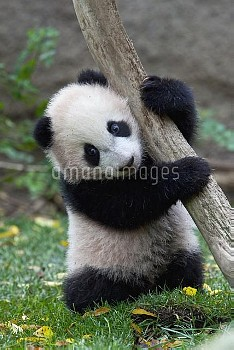 Giant Panda (Ailuropoda melanoleuca) cub, native to China