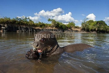 Giant River Otter (Pteronura brasiliensis) eating fish, Karanambu Trust, Rupununi, Guyana