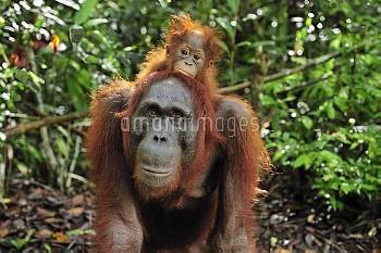 Orangutan (Pongo pygmaeus) female with young, Camp Leakey, Tanjung Puting National Park, Borneo, Ind