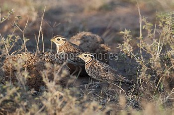 Three-banded Courser (Rhinoptilus cinctus) pair foraging for insects in dung, Kenya