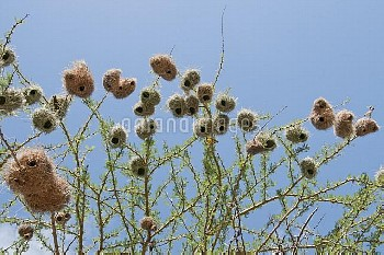 Lesser Masked Weaver (Ploceus intermedius) nests, Mpala Research Centre, Kenya