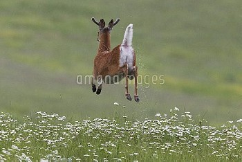 White-tailed Deer (Odocoileus virginianus) buck jumping and flashing tail, North America