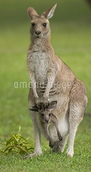 Eastern Grey Kangaroo (Macropus giganteus) female with joey in her pouch, Yuraygir National Park, Ne