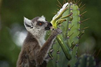 Ring-tailed Lemur (Lemur catta) eating cactus flower, Berenty, Madagascar
