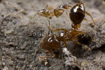 Red Imported Fire Ant (Solenopsis invicta) attacking Argentine Ant (Linepithema humile), Parana Rive