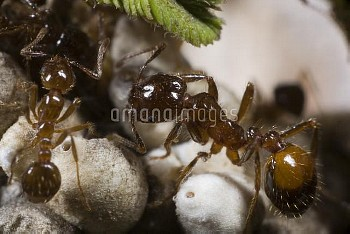 Red Imported Fire Ant (Solenopsis invicta) pair tending scale insects, Parana River, Argentina