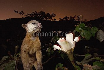 Kinkajou (Potos flavus) pollen-covered after feeding on Balsa (Ochroma pyramidale) flower nectar, Ba