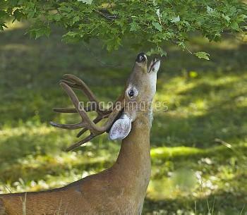 White-tailed Deer (Odocoileus virginianus)buck nibbling on leaves in rural backyard, New York