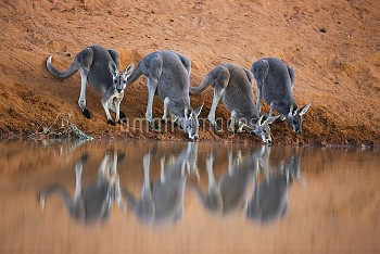 Red Kangaroo (Macropus rufus) males drinking at waterhole, Sturt National Park, New South Wales, Aus