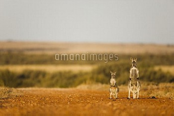 Red Kangaroo (Macropus rufus) mother and joey, Sturt National Park, New South Wales, Australia