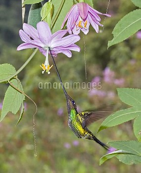 Sword-billed Hummingbird (Ensifera ensifera) male feeding on nectar of Rosy Passion Fruit (Passiflor